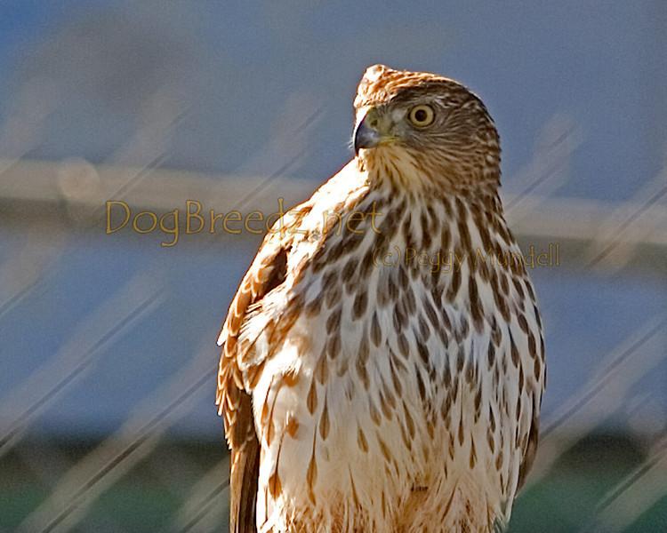 Hawk in Santee.  November 5, 2011.