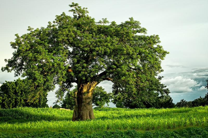 Burkina Faso Baobab Tree
