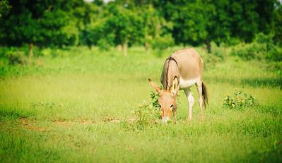 Burkina Faso Donkey