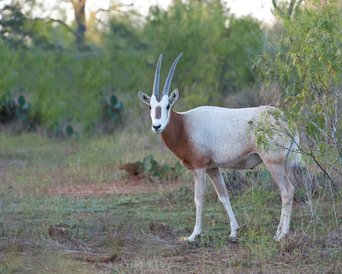 Scimitar Oryx Diamond  H Ranch