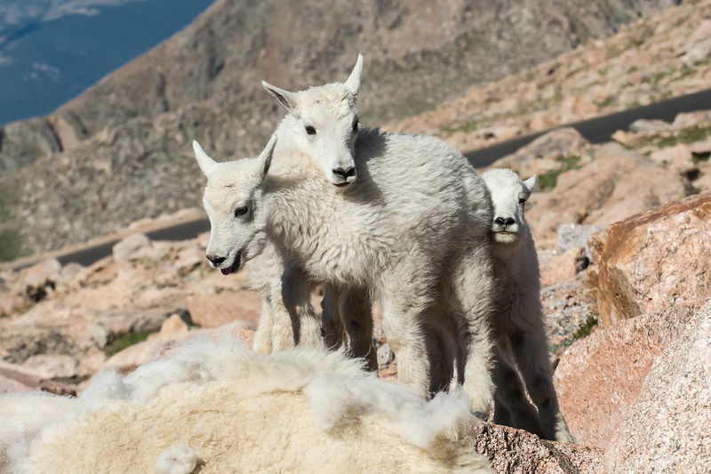 Mountain Goat Kids Summit Mt. Evans, CO