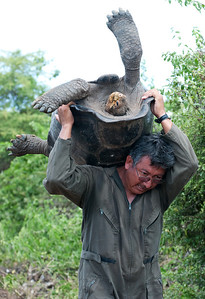 Galapagos Tortoise Moving Service Charles Darwin Station