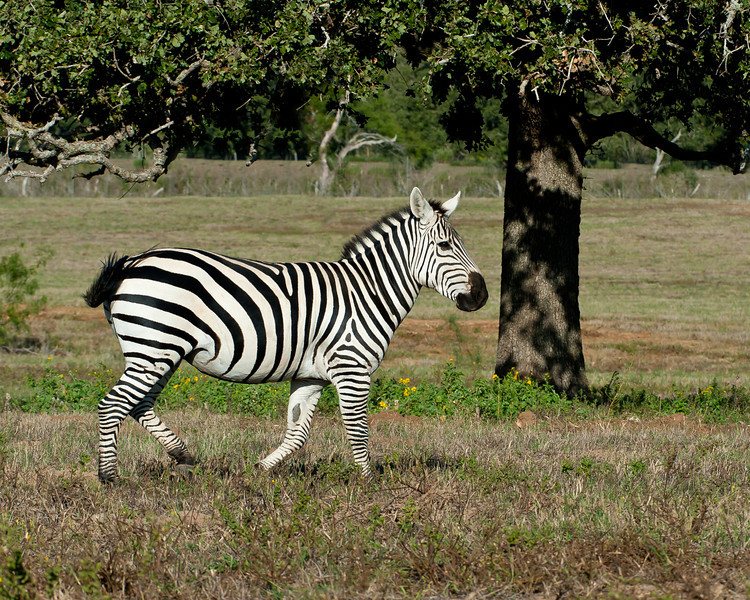 Zebra Diamond H Ranch