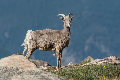 Bighorn Sheep Mt Evans, CO
