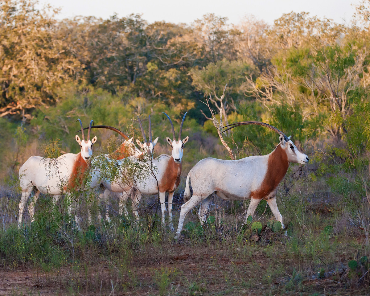 Scimitar Oryx Diamond H Ranch