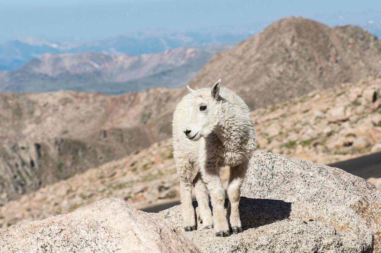 Mountain Goat Kid Summit Mt. Evans, CO