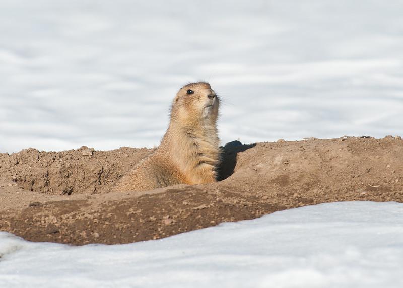 Prairie Dog Aurora CO