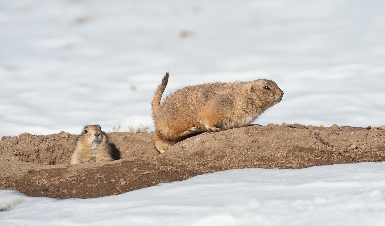 Prairie Dogs Aurora CO