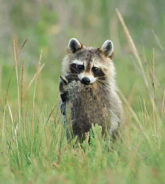 Raccoon with Kit Brazoria NWR, TX