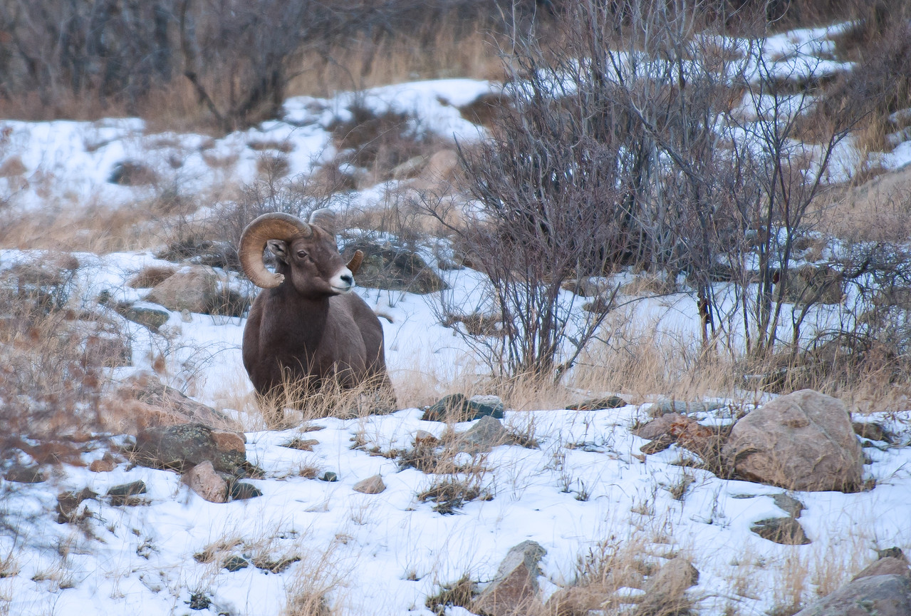 Bighorn Sheep Georgetown CO