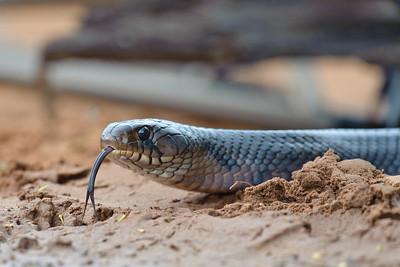Indigo Snake Laguna Seca Ranch Edinburg, TX