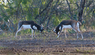 Black-buck Antelope
