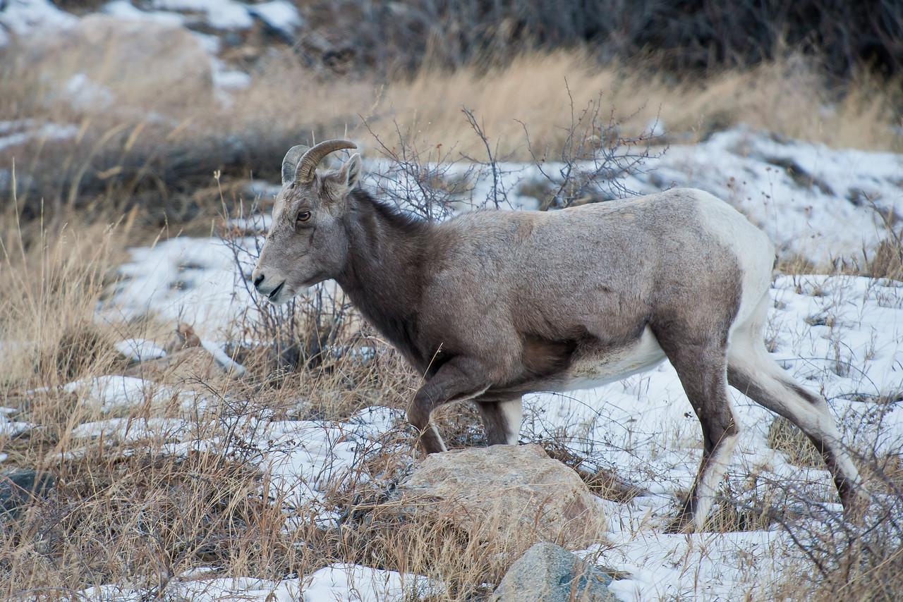 Bighorn Sheep Georgetown CO