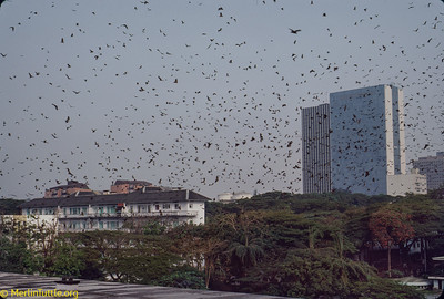 Hundreds of thousands of Straw-colored fruit bats (Eidolon helvum) beginning their evening departure from a city park in Ivory Coast, Africa. Cities often provide the only homes safe from commercial hunters who sell them for people to eat. Despite such large numbers having lived in close assoiation with humans throughout recorded history, they have not caused disease outbreaks. Their remarkable safety record casts grave doubt on recent speculation of their being dangerous carriers of disease.