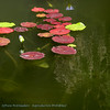 SouthAfrica; Water Lily