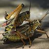 Regenboogsprinkhaan; Romalea guttata;Romalea microptera;
