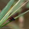 2019; Diastatops intensa; Dragonfly Pantanal; Brazil