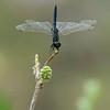 Botswana; Okavango; Urothemis edwardsii; Blue basker; Blauwe zonlibel