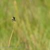 Botswana; Okavango; Dragonfliy