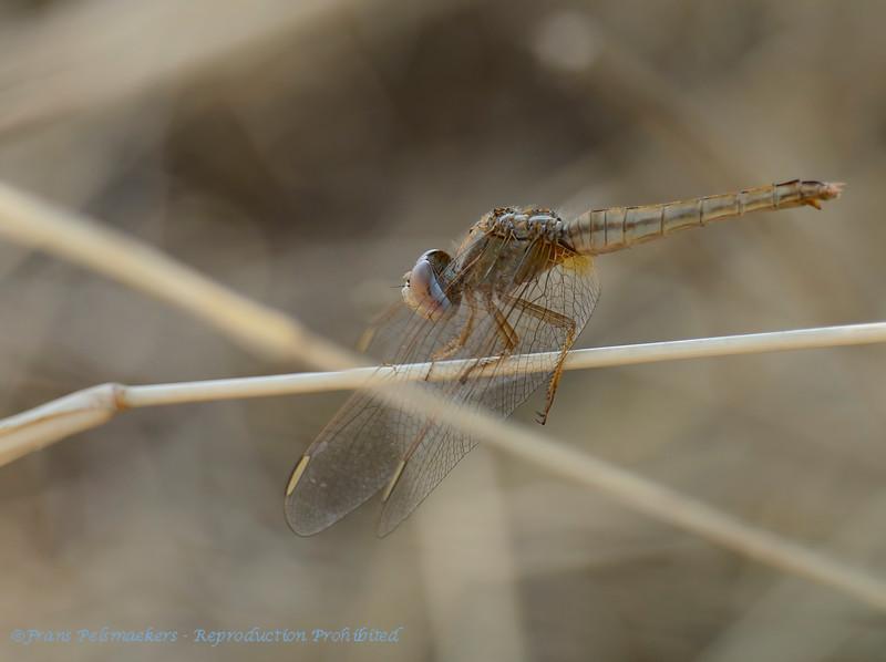 Botswana; Okavango; Dragonfly