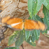 2019; Oranje passiebloemvlinder; Dryas iulia; Julia butterfly; Flambeau; Fackel, Cerrado; Brazil
