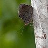 Vlinders; Brazili; 2019; Vlinders Brazilië; Butterflies Brazil; Papillons Brésil