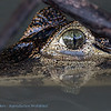 Brilkaaiman; 2019; Caiman crocodilus; Spectacled caiman; Caïman à lunettes; Krokodilkaiman