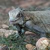Groene leguaan; Iguana iguana; Green iguana; Iguane vert; Grüner Leguan