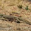 Zambië; Nijlvaraan; Varanus niloticus; Waterlikkewaan; Nile monitor; Nilwaran; Varan du Nil; Zambia