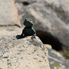 SouthAfrica; Table Mountain; Cape town; Southern rock agama; Agama atra; Suidelike klipkoggelmander