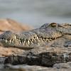 Zambië; Nile crocodile; Crocodylus niloticus; Nylkrokodil; Nilkrokodil; Crocodile du Nil; Nijlkrokodil; Zambia