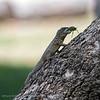 Kielstaartleguaan; Tropidurus; Amazon whiptail; Calango