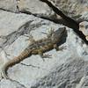 SouthAfrica; Lizard; Hagedis