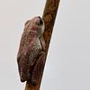 Botswana; Okavango; Marbled reed frog; Hyperolius marmoratus; Geverfde rietpadda; Gemarmerde rietkikker