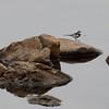 Zambië; African pied wagtail; Motacilla aguimp; Bontkwikkie; Witwenstelze; Bergeronnette pie; Afrikaanse bonte kwikstaart; Zambia