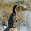Botswana; Okavango; Reed cormorant; Microcarbo africanus; Rietduiker; Riedscharbe; Cormoran africain; Afrikaanse dwergaalscholver