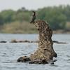 Zambië; Reed cormorant; Microcarbo africanus; Rietduiker; Riedscharbe; Cormoran africain; Afrikaanse dwergaalscholver; Zambia