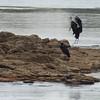 Zambië; African openbill; Anastomus lamelligerus; Oopbekooievaar; Mohrenklaffschnabel; Becouvert africain; Afrikaanse gaper; Zambia