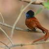 Botswana; Okavango; African paradise flycatcher; Terpsiphone viridis; Paradysvlieëvanger; Tchitrec d'Afrique; Afrikaanse paradijsmonarch