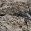 Zambië; Giant kingfisher; Megaceryle maxima; Reusevisvanger; Riesenfischer; Martinpêcheur géant; Afrikaanse reuzenijsvogel; Zambia