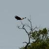 Botswana; Okavango; African fish eagle; Haliaeetus vocifer; Visarend; Schreiseeadler; Pygargue vocifer; Afrikaanse zeearend