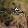 Amazoneijsvogel; Chloroceryle amazona; Amazon kingfisher; Martinpêcheur d'Amazonie; Amazonasfischer