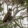 Amerikaanse oehoe; Bubo virginianus; Great horned owl; Grandduc d'Amérique; VirginiaUhu