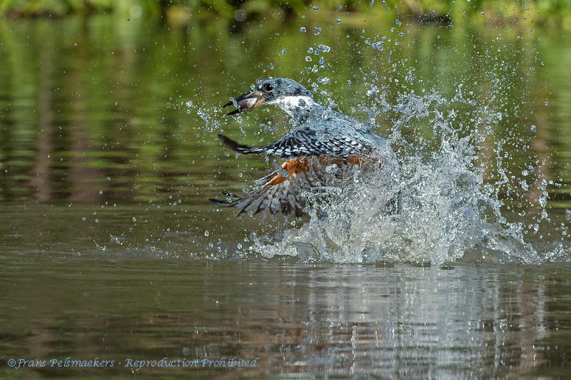 Amerikaanse reuzenijsvogel; Megaceryle torquata; Ringed kingfisher; Martinpêcheur à ventre roux; Rotbrustfischer