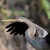 Amerikaanse slangenhalsvogel; Anhinga anhinga; Anhinga; Anhinga d'Amérique; Amerikanischer Schlangenhalsvogel