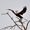 African darter; Anhinga rufa; Afrikaanse slangenhalsvogel; Anhinga d'Afrique; Senegal; Casamance