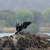 Zambië; African darter; Anhinga rufa; Afrikaanse slangenhalsvogel; Anhinga d'Afrique; Slanghalsvoël; Afrikanischer Schlangenhalsvog; Zambia