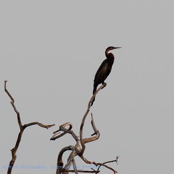 Botswana; African darter; Anhinga rufa; Afrikaanse slangenhalsvogel; Anhinga d'Afrique; Senegal; Casamance; Okavango