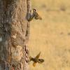 Botswana; Okavango; Bennett's woodpecker; Campethera bennettii; Bennettse speg; Pic de Bennett; Bennettspecht; Bennetts specht