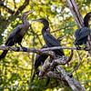 Biguaaalscholver; Phalacrocorax brasilianus; Neotropic cormorant; Cormoran vigua; Olivenscharbe